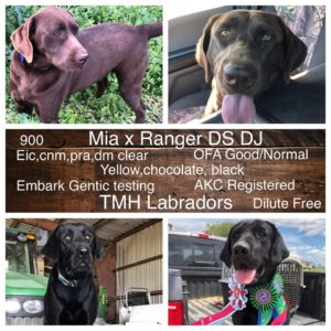 Lab Parents - AKC Lab Breeder Houston - South East Texas