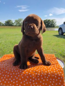 AKC Lab Breeder Texas - Chocolate Lab Puppies for sale