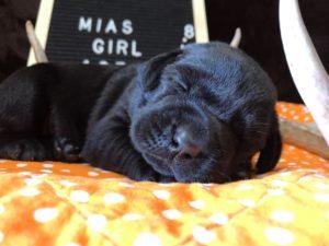 AKC Lab Breeder Texas - AKC Lab Puppies for sale Houston